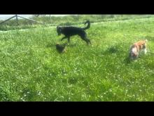 Embedded thumbnail for The Puppy Project: A Day At the Dog Park - Cricket Hangs With The Big Kids