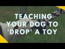 Embedded thumbnail for Teaching Your Dog to Drop A Toy